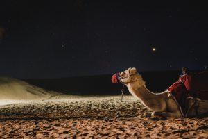 Дубай верблюд