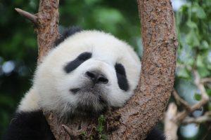 Китай панда